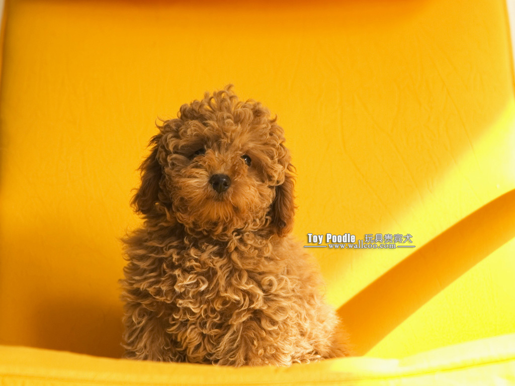 Cuddly Puppies Toy Poodle Puppy Wallpapers 1024x768 No 9 Desktop Wallpaper Wallcoo Net
